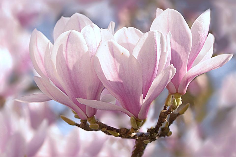 tulip-magnolia-1325396_960_720.jpg