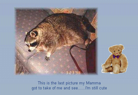 """This raccoon was named """"Rocky,"""" like the song. I imagine it's a VERY popular name for pet raccoons."""