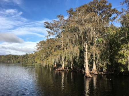 Cypress on the St Johns River, Florida