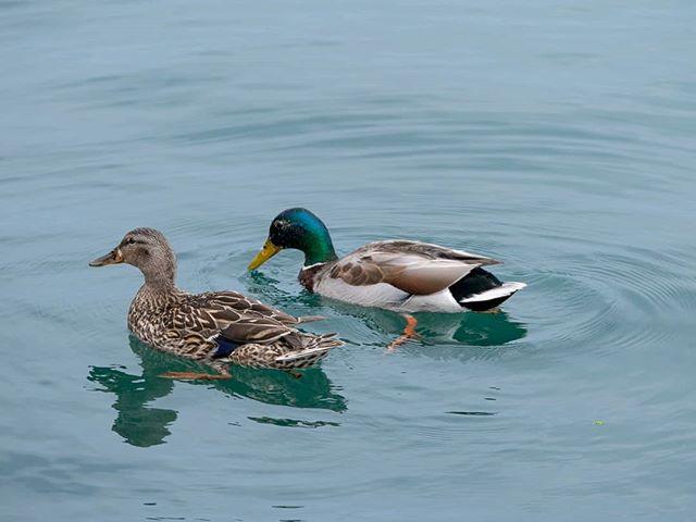 #ducks #water #detail