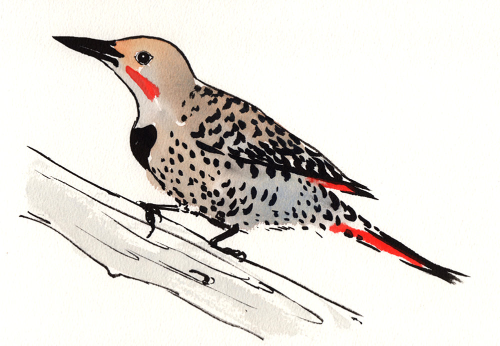 northern-flicker-web1.jpg