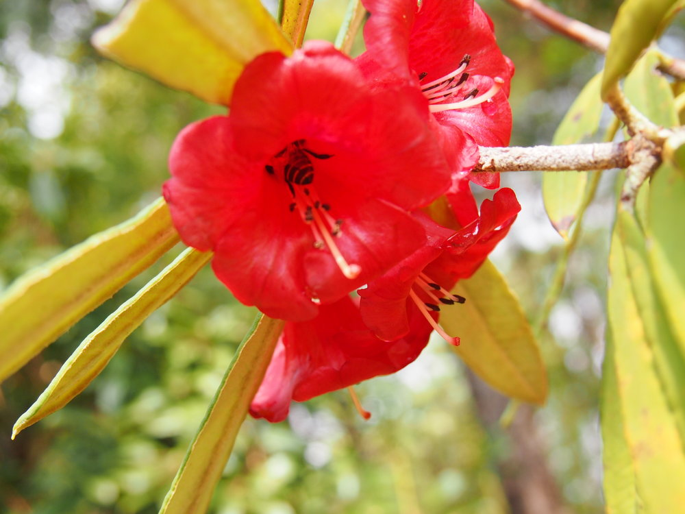 The bright, red flowers of  Rhododendron floccigerum .