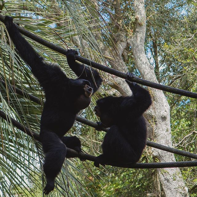 #Audubonzoo #neworleans #nola #uptown #weekendtrip #summer2018 #zoo #monkeyduet