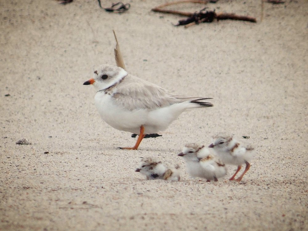 Piping Plover with chicks ( public domain image ).