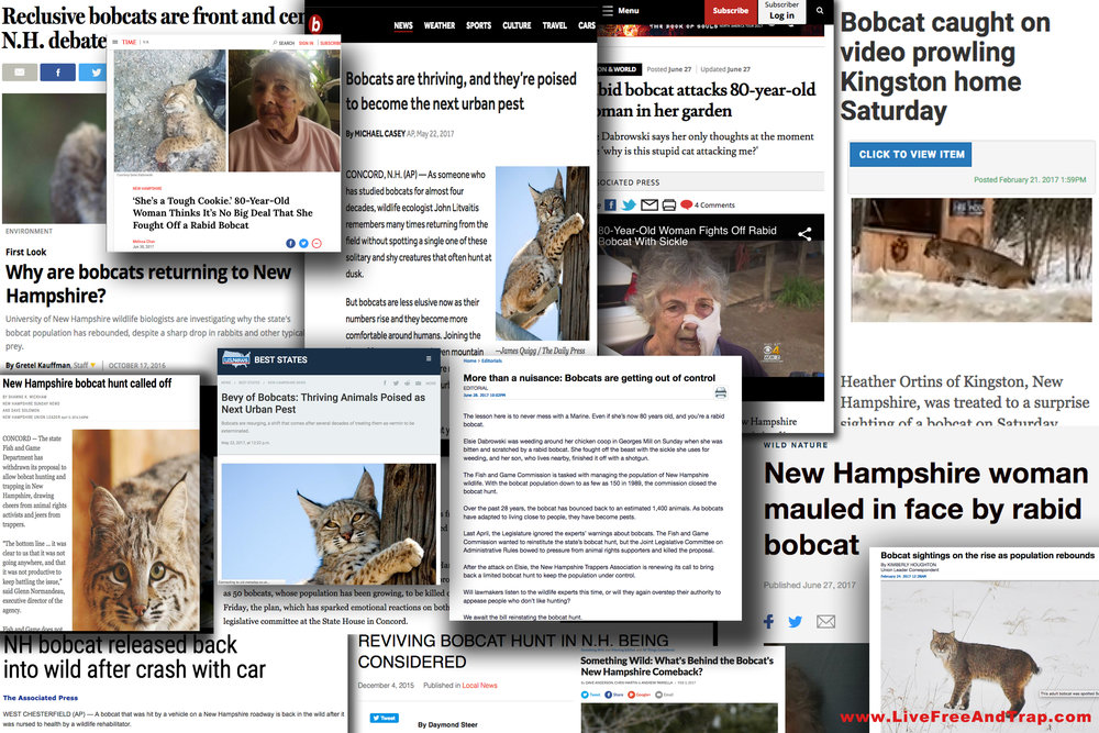 While some of those  against  the original bobcat hunt thought media attention would help their cause, the truth eventually came out in the wake of the season withdrawal. Bobcats are now a common headline as the unregulated population swells throughout New Hampshire.