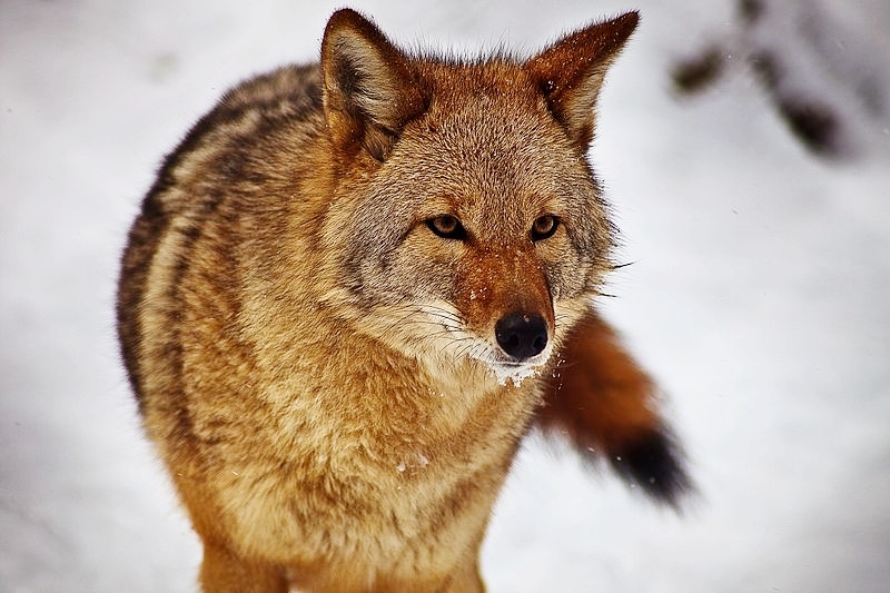 LFAT_Coyote.jpg