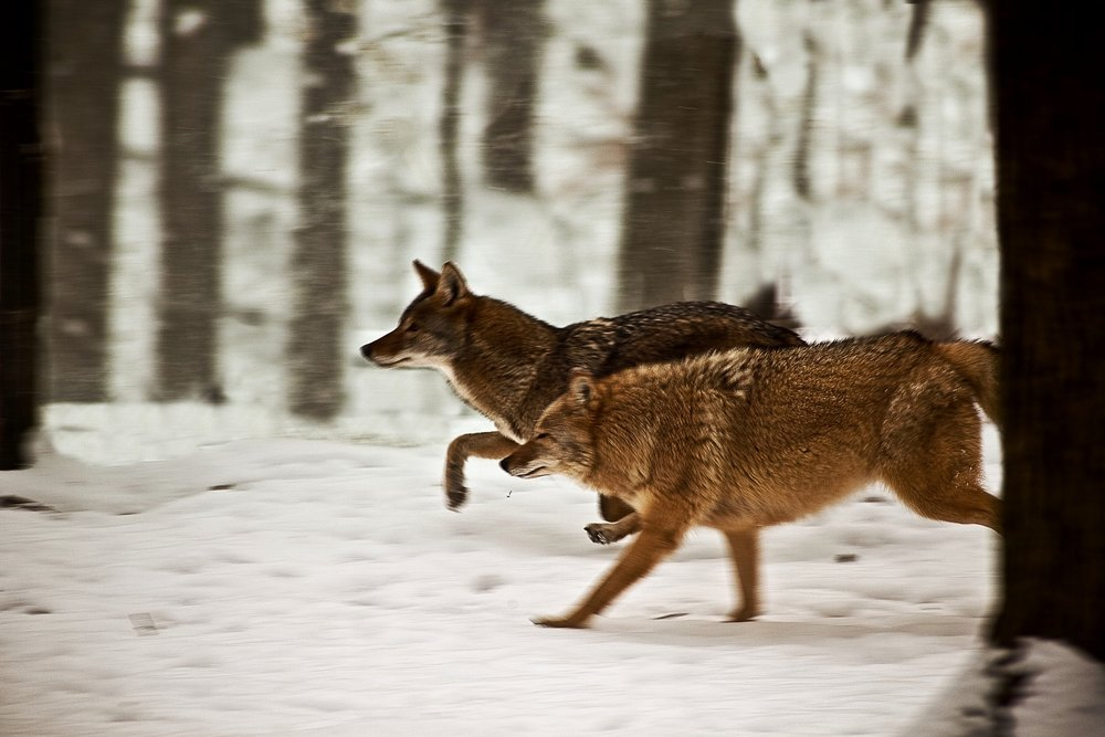 A pair of coyotes travel through snow-packed hardwoods in West Virginia.