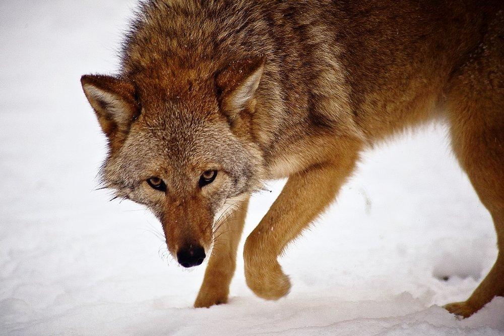 LFAT_coyote3.jpg