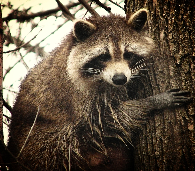 800px-Raccoon_female.jpg