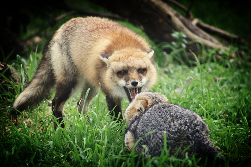 A red fox squares off with a grey fox in the San Joaquin National Refuge ( Public Domain Image )
