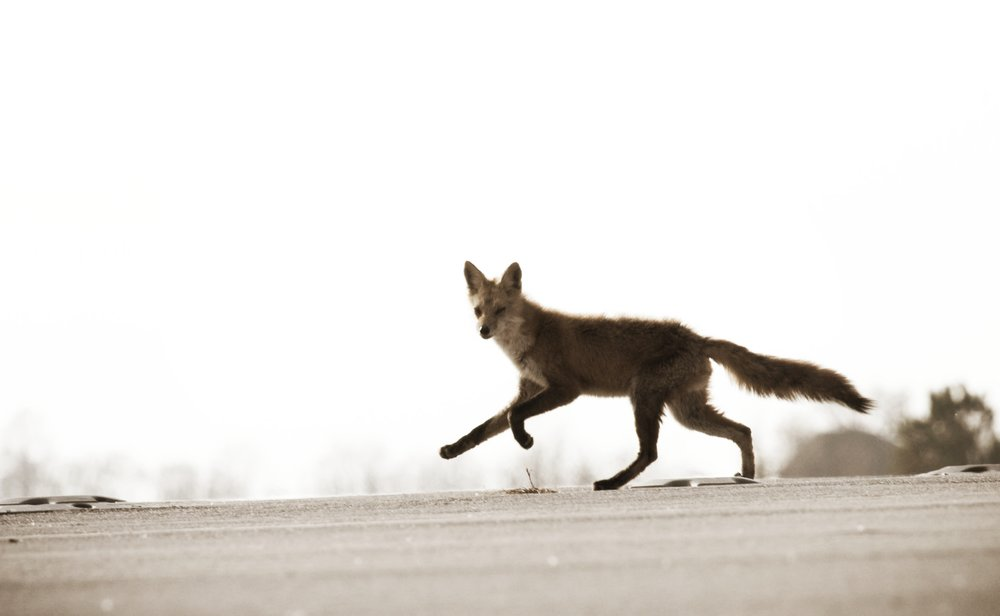 A Red Fox crosses the threshold of an airport runway as Wildlife Managers attempt to remove it amid safety concerns.  (public domain image)