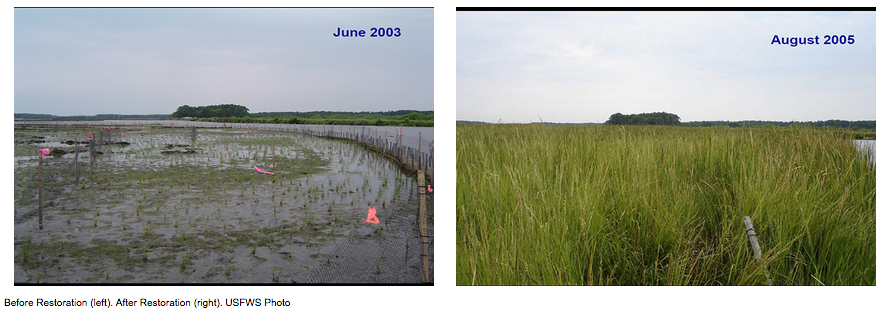 A very compelling image showing nutria damage (left) prior to removal. Followed by the after effects of the land regeneration after nutria removal (right).