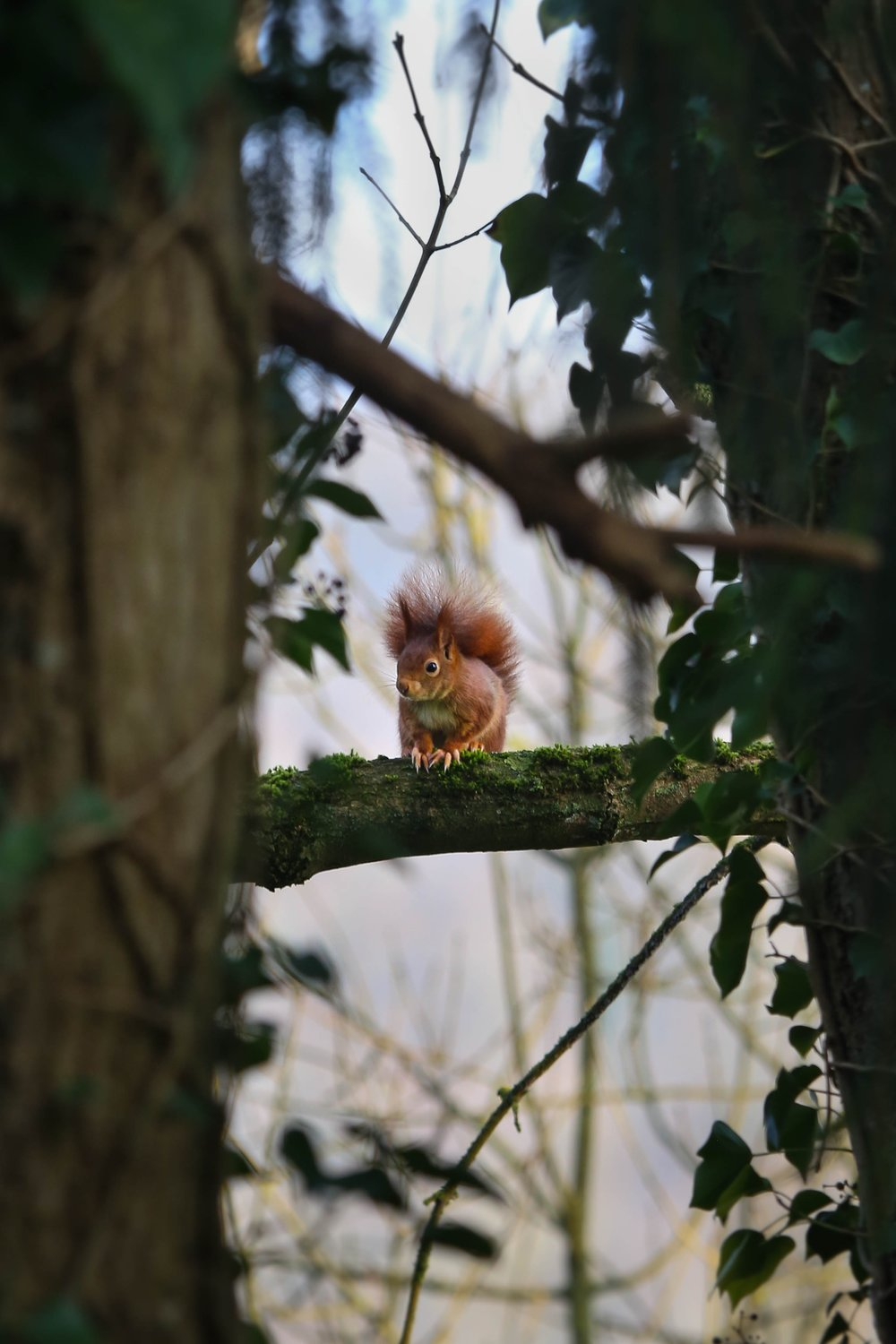 Red Squirrel native to the U.K.
