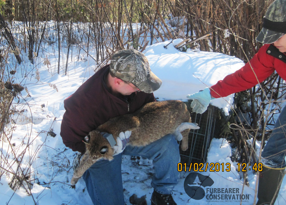 A sedated bobcat is removed from a cage trap during the UNH bobcat study in New Hampshire (Photo | Furbearer Conservation)