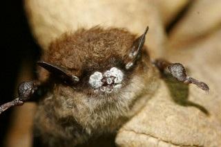 Little Brown Bat with WNS. Photo   Ryan von Linden NYDEC