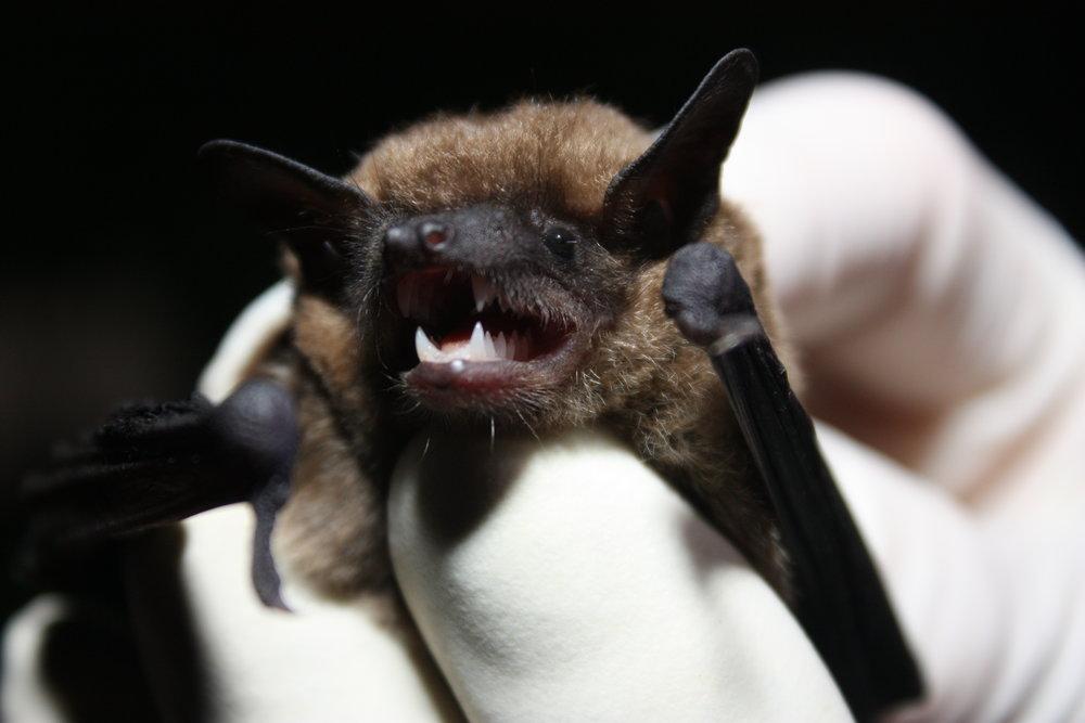Eastern Small Footed Bat. Photo   Gary Peeples USFWS