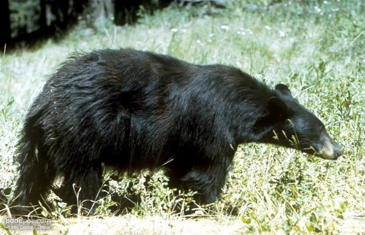 ursus-americanus-black-bear_w725_h467.jpg