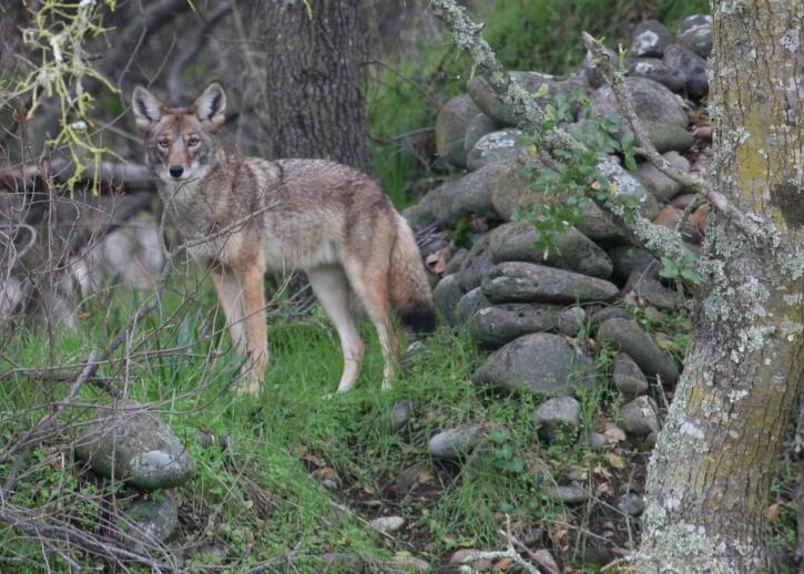 coyote-in-wild-vegetation_w725_h518.jpg