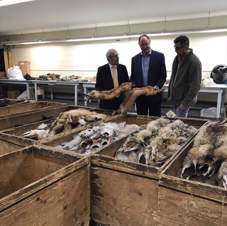 Ministers John Yakabuski and Vic Fedeli handle fox pelts at Fur Harvesters Auctions in North Bay Ontario (Photo | J Yakabuski, Instagram)