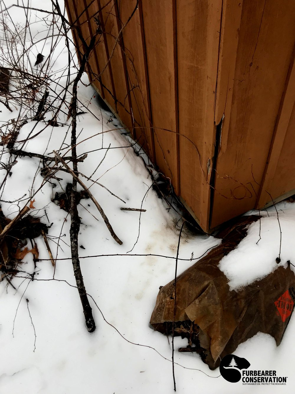 A well traveled skunk den in February, located under a shed in an urban backyard. (Photo   Furbearer Conservation)