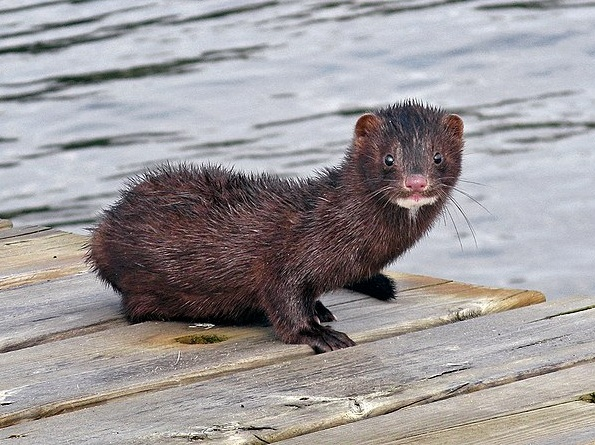 American Mink (Photo    Jonn Leffmann )