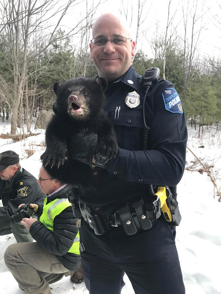 One of the bear cubs is removed and translocated along with their mother by MA Environmental Police. (Photo | Templeton Police Department)