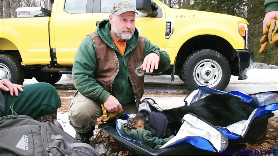 The tranquilized bear is moved during Thursday's eviction process. (Photo | MassWildlife)
