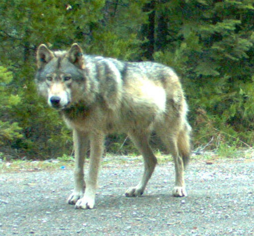 OR-7, believed to be the first confirmed wolf in western Oregon since 1947. Photographed in Jackson County, Oregon, May 2014 (Photo | ODF&W)