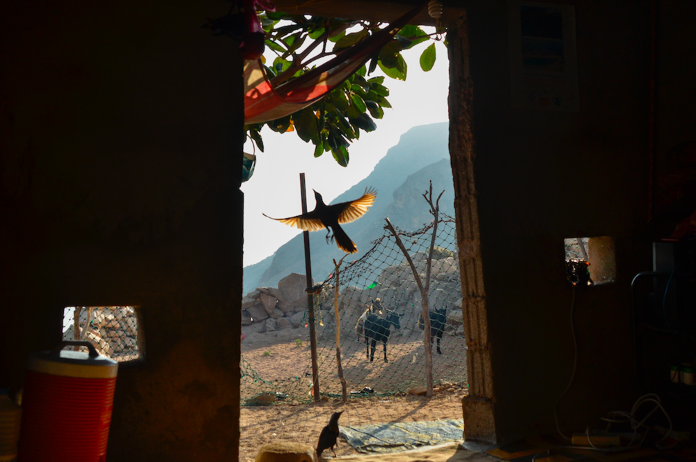 Detwah Lagoon, Socotra, Yemen, on 7 May 2014. Sadiya's bird flies into a tree after eating food off the ground. The two black birds come to Sadiya's house every day for food, and follow Sadiya wherever she goes throughout the day.