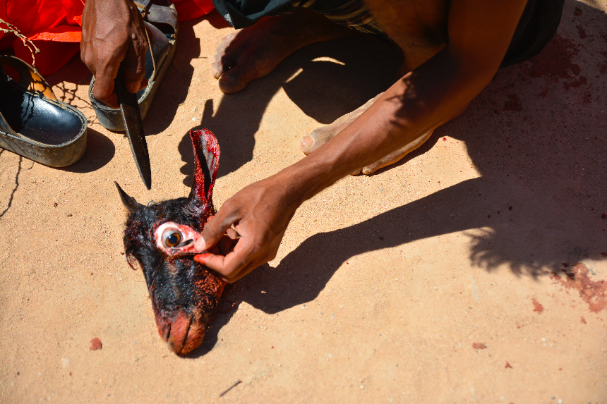 Qadeeb, Socotra, Yemen, 14 November 2014. As a part of the tradition for slaughtering, Socotrain people remove goats' eyes. Socotrain traditions are different from those of the mainland.