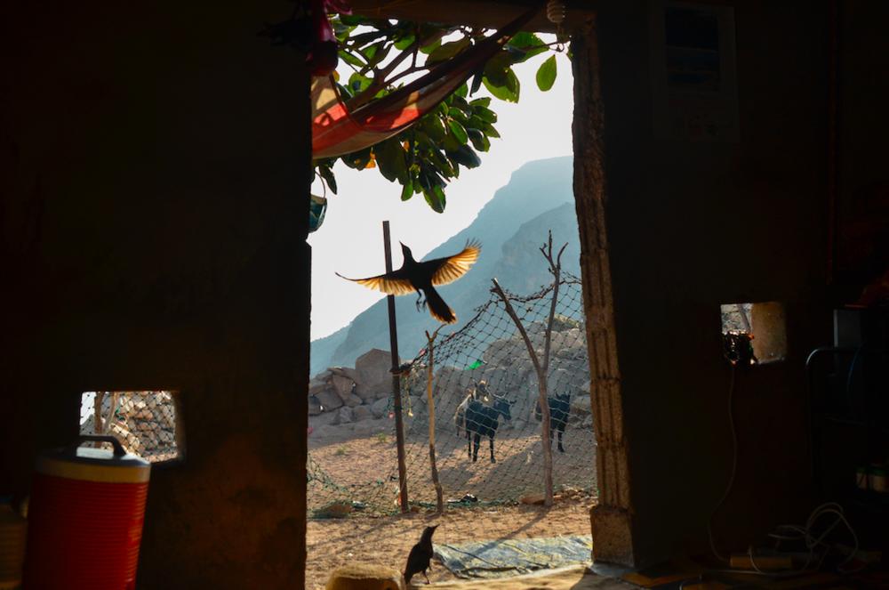 9.ديطواح لاجون ، سقطرى- اليمن، في السابع من مايو 201. طائر سعدية يحلق نحو أعلى الشجرة بعد تناوله لطعام من الأرض. الطائران الأسودان يأتيان لمنزل سعدية كل يوم من أجل الطعام، و يلحقان سعدية طيلة اليوم