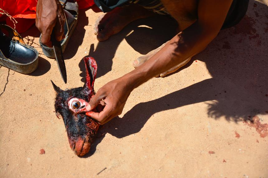 قاضب ، سقطرى -اليمن، الرابع عشر من نوفمبر 2014. كإحدى تقاليد الذبح ،السقطريون يقلعون أعين الخرفان. تقاليد السقطريين تختلف عن تقاليد ساكني الحواضر و الأرياف في بقية البلد