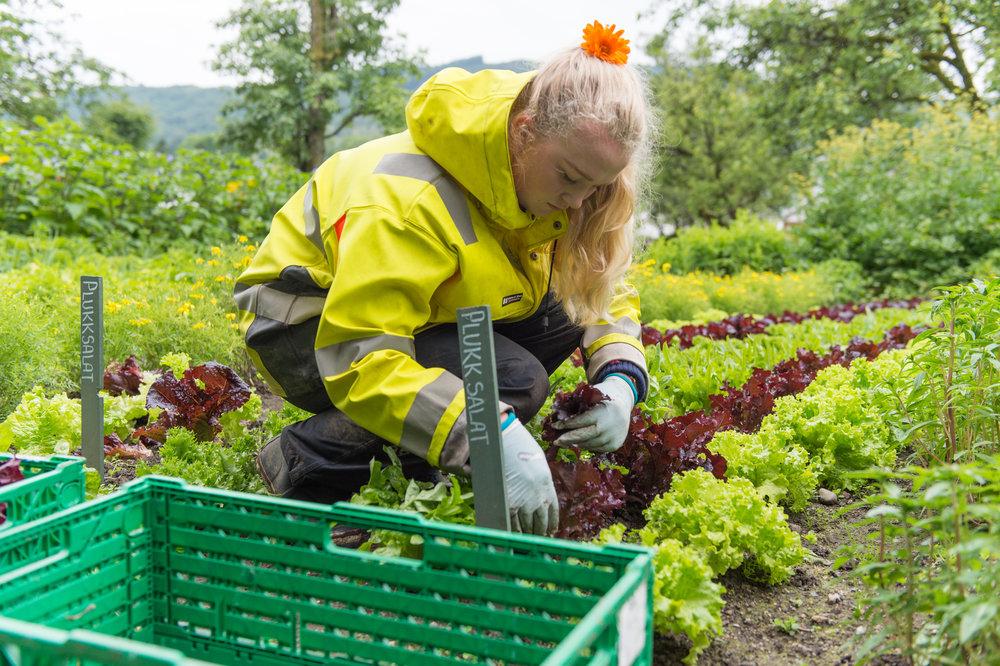 Frå jord til bord - Kortreist fotoreportasje om kortreist salat frå Baroniet Rosendal.