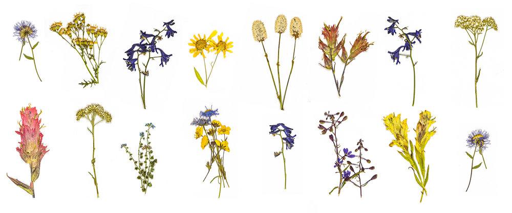 UTCO_PressedWildflowers.jpg