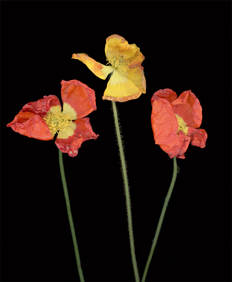 Shisler_Three_Poppies.jpg