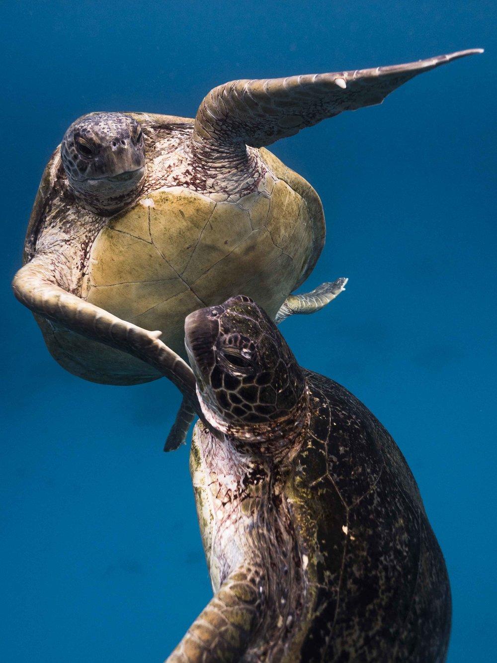 19. Turtle Love 1/10 - $1600