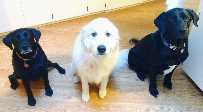 Ani (Lab), Romeo (Great Pyrenees), and Simon (Lab-Newfoundland mix) are my furry loves. And yes, they are a handful!