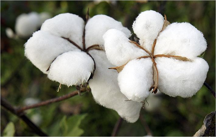 Cotton 2040 initiative promotes sustainable cotton - Initiative promotes sustainable cotton