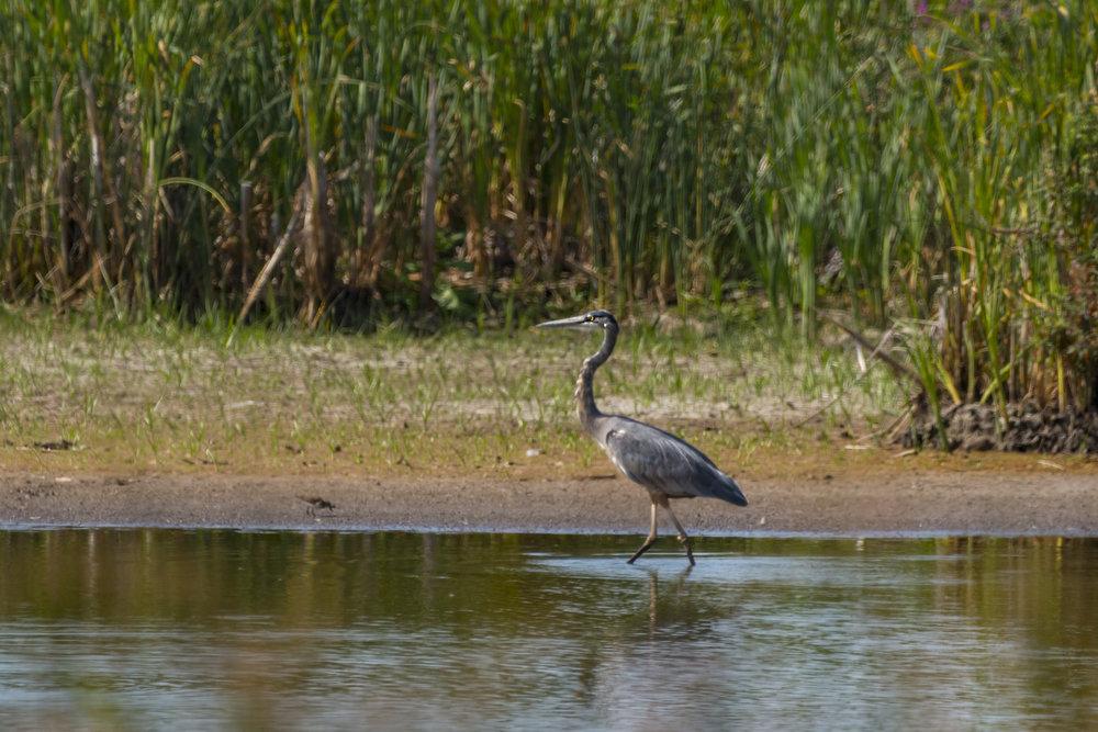 Great-Blue-Heron-BRimages