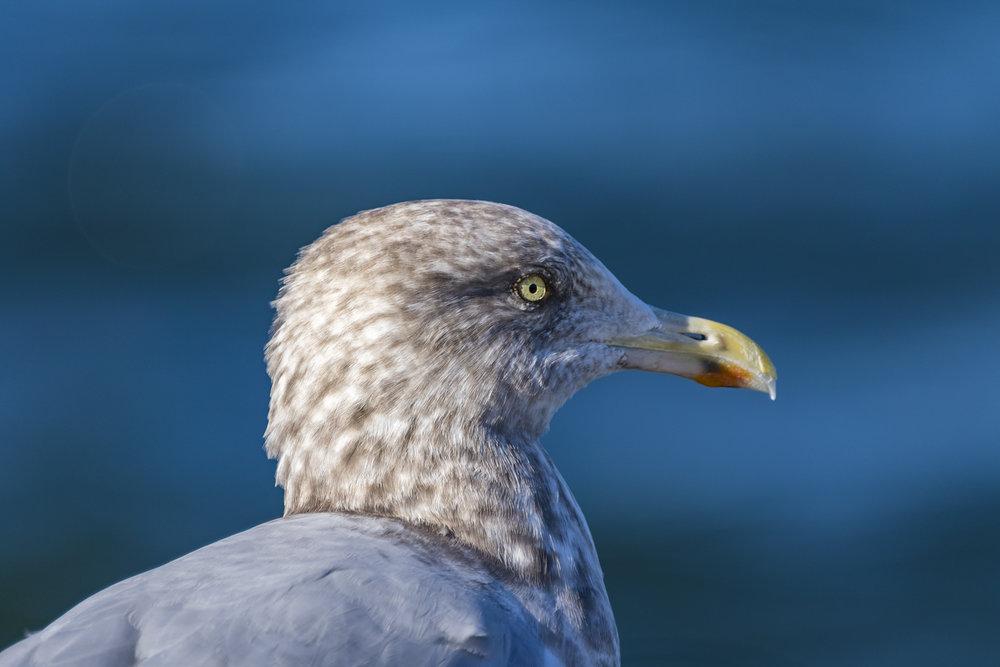 Closeup-Gull-BRimages.ca