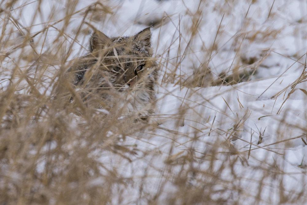 Bobcat-BRimages.ca