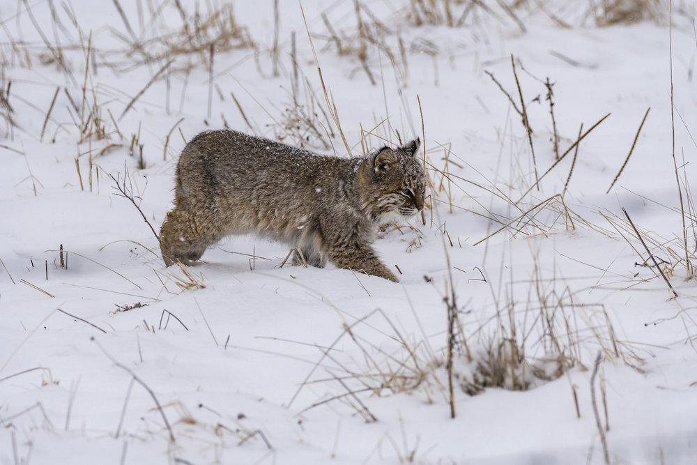 Bobcat(2)-BRimages.ca