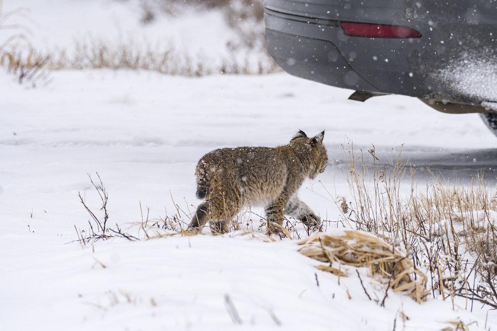 Bobcat-with-car-BRimages.ca