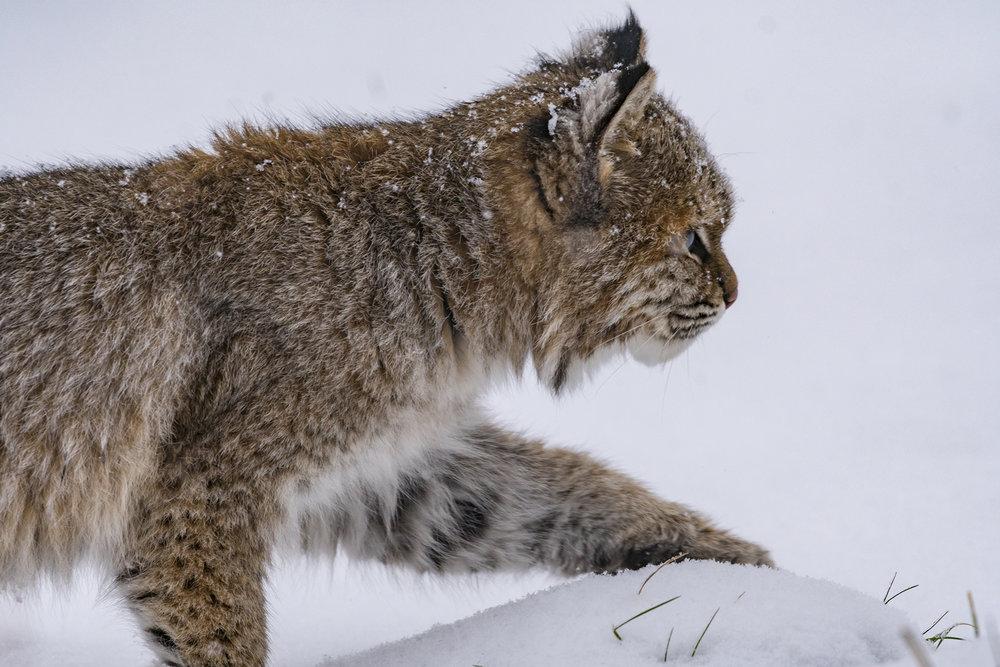 Bobcat-closeup-BRimages.ca