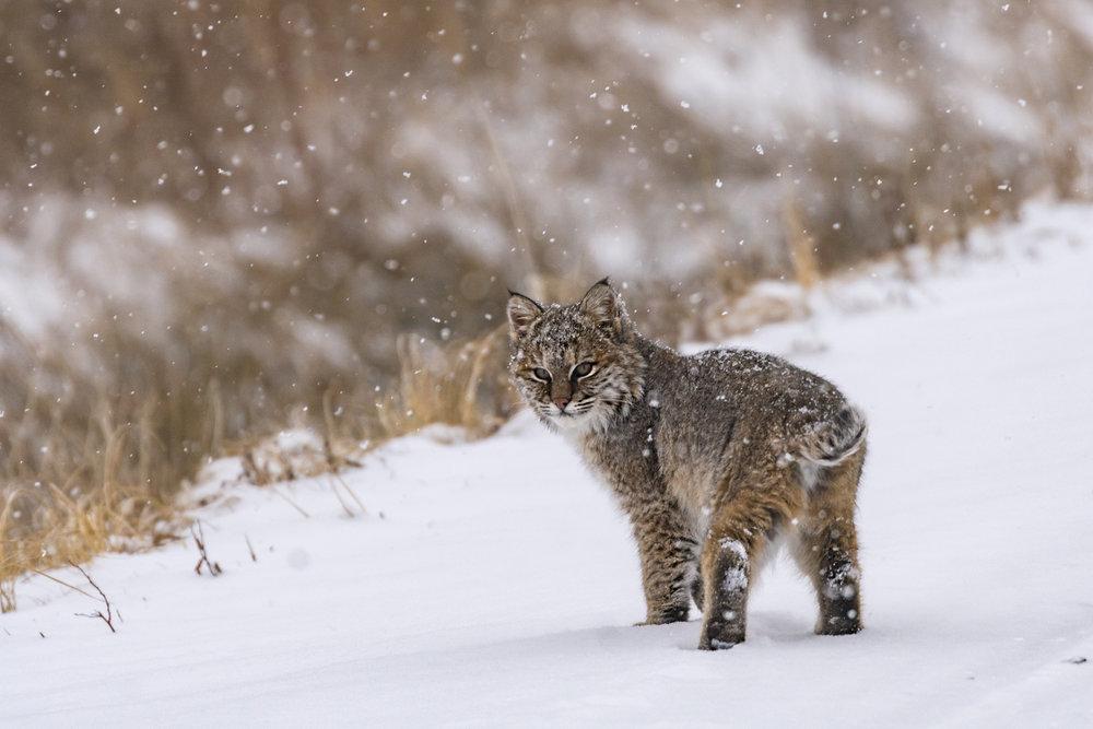 Bobcat-looking-at-us-BRimages.ca