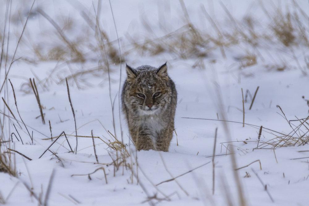 Bobcat-01-BRimages.ca