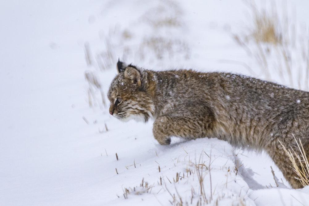 Bobcat-02-BRimages.ca