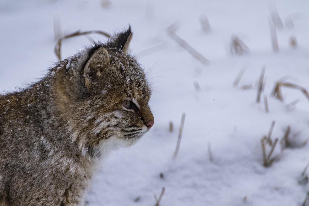 Bobcat-04-BRimages.ca