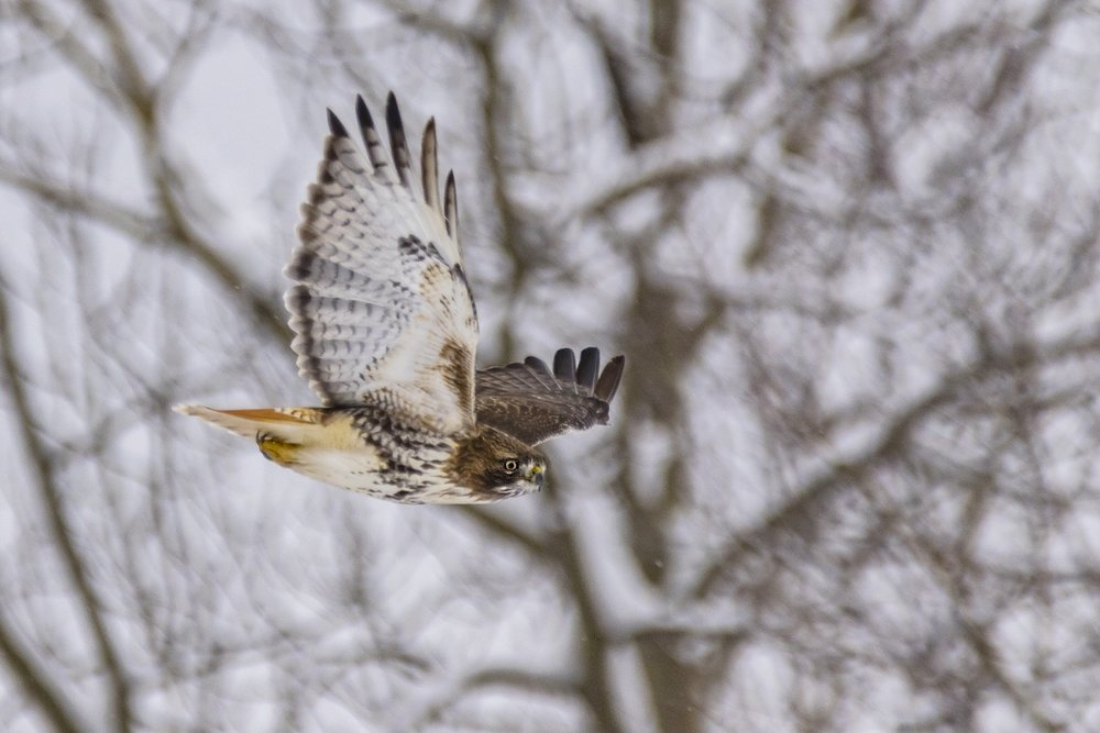 Red-tailed-Hawk-BRimages.ca