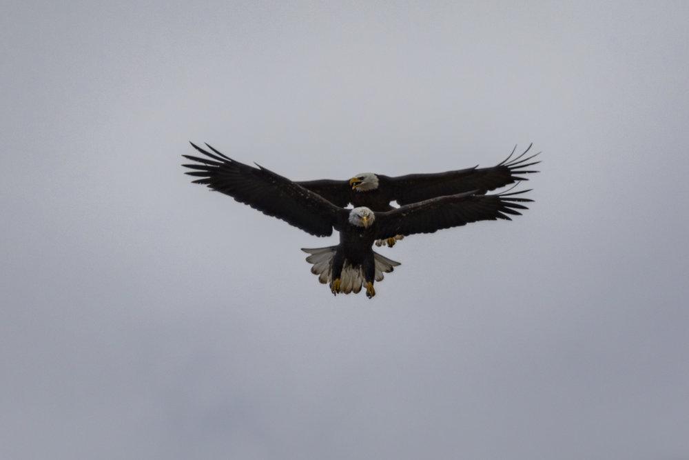 Eagle-Courtship-BRimages.ca